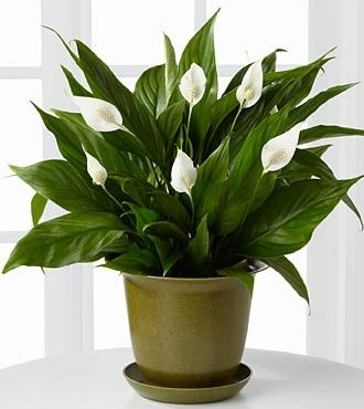 An Air Purifying Plant.
