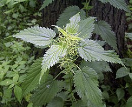 Stinging nettles can make a refreshing cup of tea