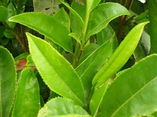 Green tea can soothe acne