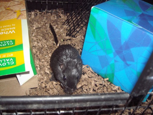 Our gerbil Midnight, Sitting in her Gerbil Bedding!