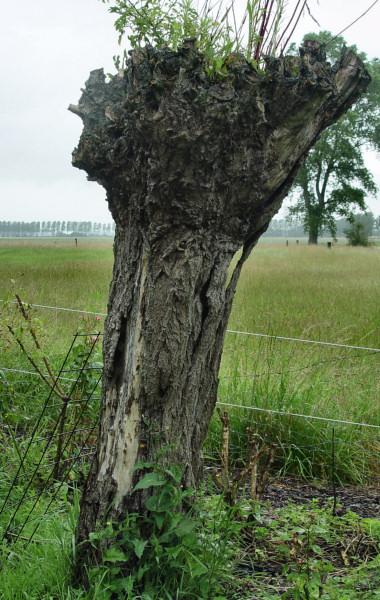 Dead Pollard Willow