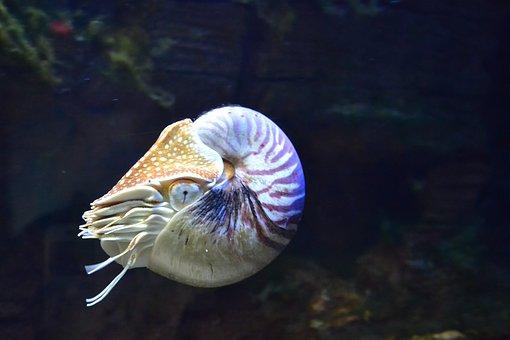 Nautilus - an amazing creature