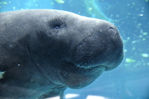 This Manatee seems to have a smile, so beautiful!