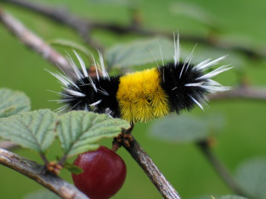 Another Yellow Woolly Bear