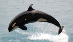 Orca RHYMES