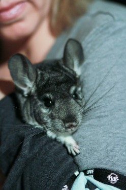 Your Pet Chinchilla