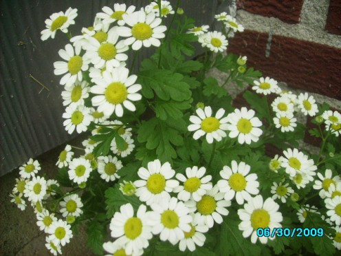 These are some wild daisy's in my yard. I love daisy's they are so awesome. God sure does know how to make beautiful things.