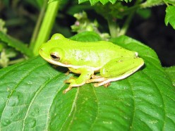 Has the Green Tree Frog (Hyla cinerea) Leap-Frogged North?