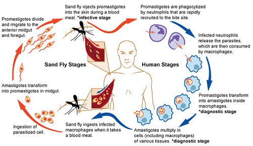 The Sandfly Cycle on humans.