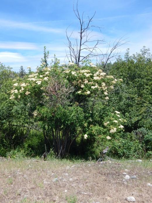 Elderberry in Flower Water is within 10'
