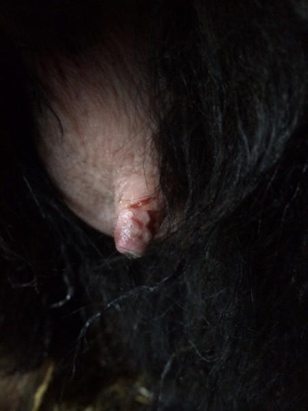 Damaged sheep's nipple