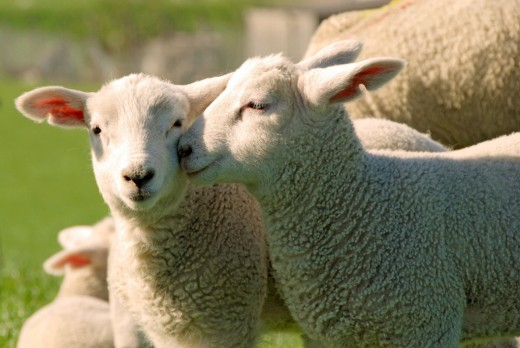 Sheep are playful and affectionate animals. Researchers discovered that sheep can remember 50 different faces of other sheep.