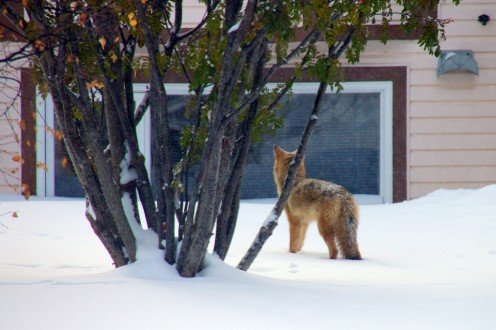 Coyote Encounter: Tips for Dog Walkers and Homeowners
