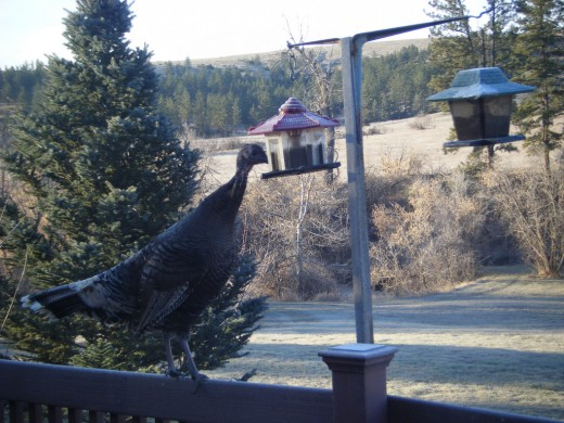 Bird feeders attract other wildlife of interest to coyotes