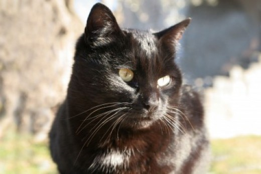 Keep your black cat safe on Halloween!