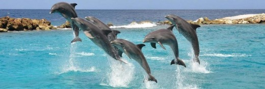 Dolphins at play; Curacao