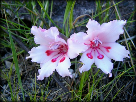 The gladiolus is a symbol of character strength.  Photo by Andrew Massyn
