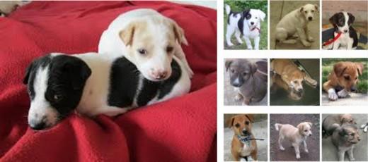 Indian Pariah (Desi Dog) Pups