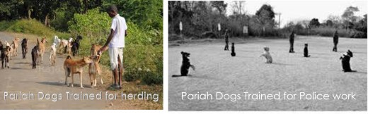 Pariah Dog being trained for anti-Naxal operations in Chattisgarh, India.