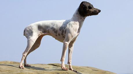 Nippon Terrier