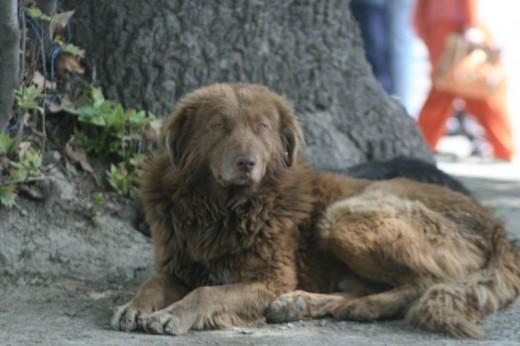 Kashmiri Sheep Dog