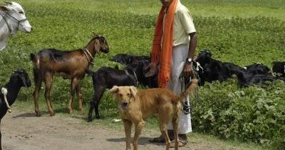 Dhangri, Maharashtrian Shepherd Dog
