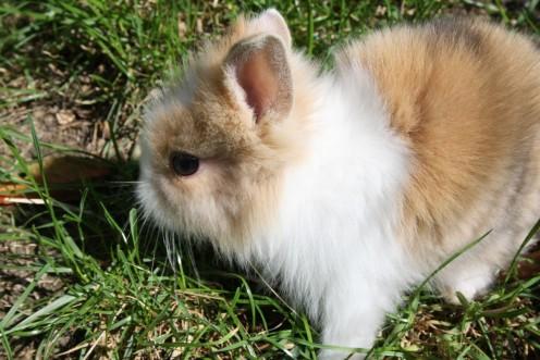 Dwarf Rabbit.