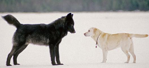 Wolf and dog, face to face