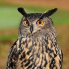 hootingowl profile image