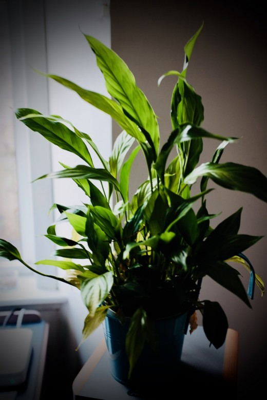 My Peace Lily