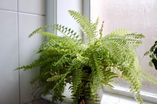 My Boston fern in the bathroom
