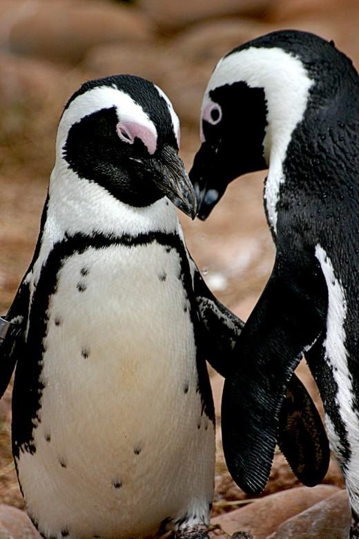Penguins in love - FreeImages.com / Martin Walls