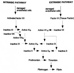 Blood Coagulation Pathway (Stepwise with Pictures)