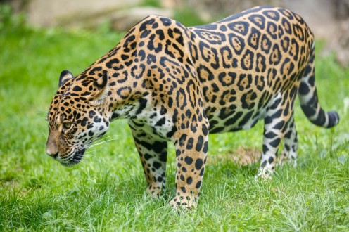 Jaguar walking in green grass.