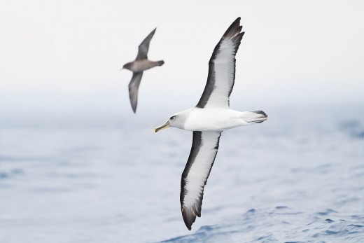 Albatross in flight (on the wing).