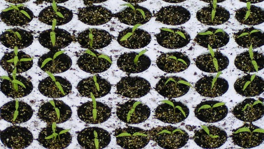 "Tomato seedlings—tender and young. At this stage, only the cotyledon leaves, or true first leaves"" can be seen."