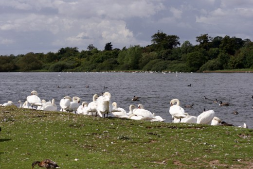 Hornsea Mere, a short way inland  with wildfowl. Migrants pass through annually, 'residents' such as the swans live here protected