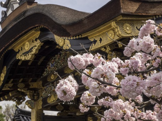 Cherry Blossoms at Nijo Castle