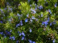 5 Drought-Tolerant Plants for California Gardens