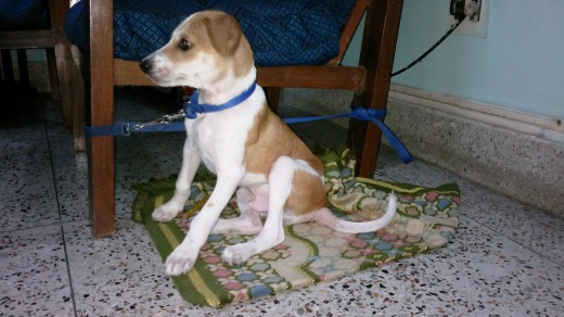 The pariah dog, a native dog breed of India, is affectionately known for its great manner, health, and hardiness