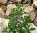 Can You Eat Lambs Quarters?