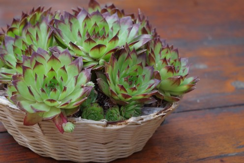 This grouping of succulents makes a perfect centerpiece.