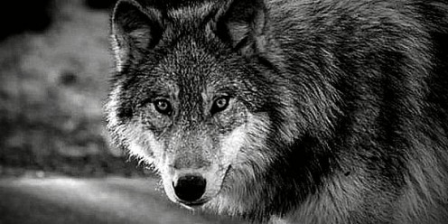The Wolf fulfils many roles in belief structures across the world