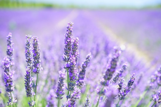 A field of lavender flowers.