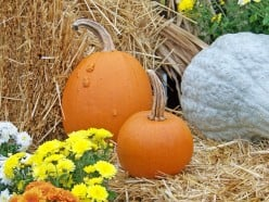 Plant a Pumpkin Seed, Grow Your Own  Pumpkin Pies