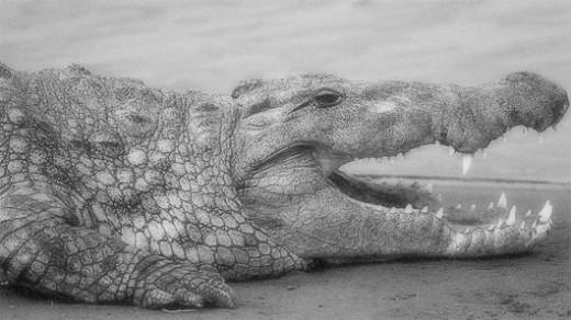 A Nile Crocodile. (Crocodylus Niloticus).