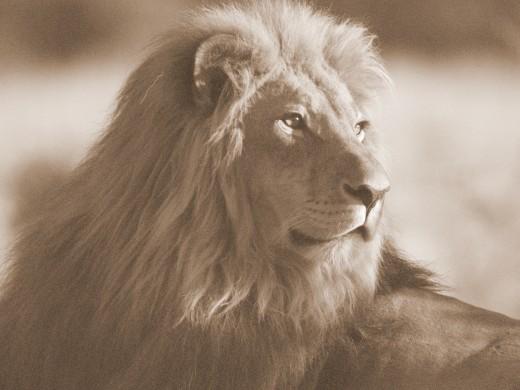 African Lion. (Panthera Leo).
