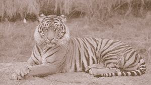 The Bengal Tiger. ( Panthera Tigris).