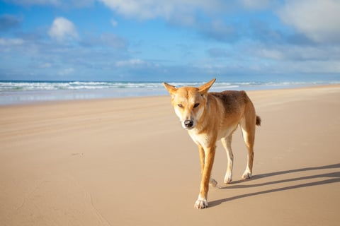 Tourists on Fraser Island are warned not to interact with the wild dingoes. A dingo wanders along a sandy beach.