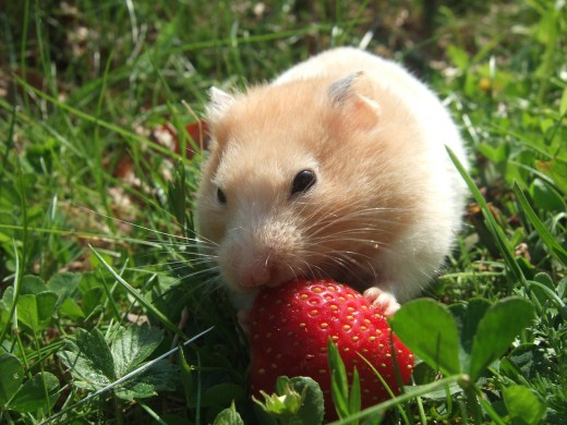 Hamsters are prone to obesity if offered an imbalanced diet.